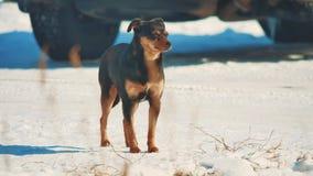 Invierno sin hogar del perro frío problema sin hogar de los animales domésticos de los animales perro marrón en forma de vida la  metrajes