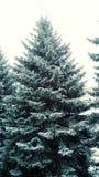 Invierno Spruce Fotos de archivo
