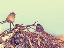 Invierno tirado de los gorriones que se sientan en rama fotografía de archivo libre de regalías