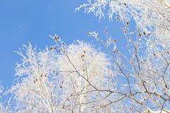 Invierno y cielo frío, azul y ramas de árbol en el galán de la helada A Foto de archivo libre de regalías
