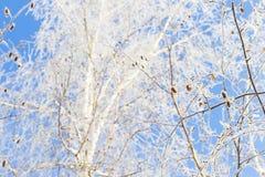 Invierno y cielo frío, azul y ramas de árbol en el galán de la helada A Fotos de archivo