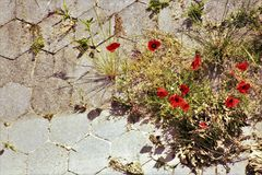 Poppy flowers on the concrete royalty free stock photo