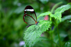 Invisible Butterfly Royalty Free Stock Photography