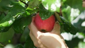 Invisible girl rotates the apple, then to tear it from the tree stock video footage