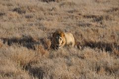 An old male lion approaching from the high grass royalty free stock photography