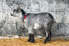 Invisible young grey goat Stock Photo