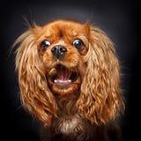 Invitaciones de cogida arrogantes de rubíes felices del perro de aguas de rey Charles foto de archivo libre de regalías