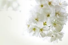 Invitation de fleurs de cerise Photographie stock