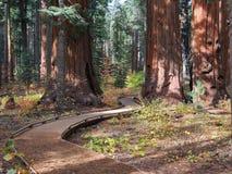 Inviterande bana, jätte- sequoior Royaltyfri Fotografi