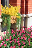 Inviting image of colorful tulips and forsythia against brick building. Inviting image of colorful pink tulips and yellow forsythia set against walls of brick stock images