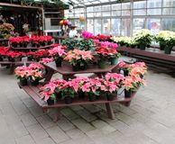 Inviting scene with tables covered in potted poinsettia plants, SunnySide Gardens, Saratoga New York, 2018 stock photo