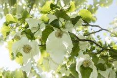 Involucrata Davidia или дерево носового платка с цветками Стоковое Изображение RF