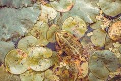 Inwoner van rivieren en moerassen Grote kikker Royalty-vrije Stock Foto's
