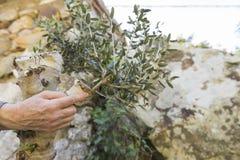 Inympa av en olivträd royaltyfri bild