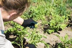 Inzameling en vernietiging van de coloradokever en de larven van Colorado op groene bladeren van aardappels stock foto