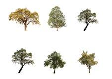 Inzameling van bomen, Indische Jujube, Eucalyptusboom en weinig die de bomen van Tabebuia Aurea op witte mooie achtergrond worden stock fotografie