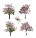 Inzameling van bomen met roze die bloem op witte achtergrond wordt geïsoleerd Stock Fotografie