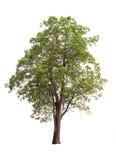 Inzameling van bomen op witte achtergrond wordt geïsoleerd die Royalty-vrije Stock Foto