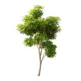 Inzameling van bomen op witte achtergrond wordt geïsoleerd die Royalty-vrije Stock Afbeeldingen