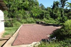 Inzameling van cacaobonen Stock Foto's