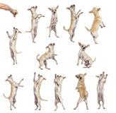 Inzameling van 12 Chihuahuas, differents positie royalty-vrije stock afbeelding