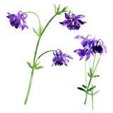 Inzameling van de bloemen van waterverfaquilegia stock illustratie