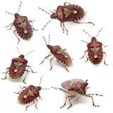 Inzameling van de insecten van het Schild, baccarum Dolycoris Royalty-vrije Stock Afbeelding