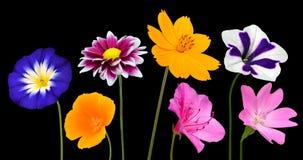 Inzameling van Diverse Kleurrijke die Bloemen op Zwarte wordt geïsoleerd Royalty-vrije Stock Fotografie