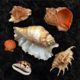 Inzameling van diverse overzeese shells Royalty-vrije Stock Afbeeldingen