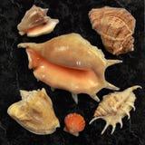Inzameling van diverse overzeese shells Stock Afbeelding