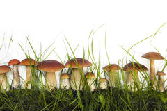 Inzameling van eetbare wilde paddestoelen Royalty-vrije Stock Afbeeldingen