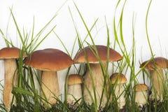 Inzameling van eetbare wilde paddestoelen Stock Afbeeldingen