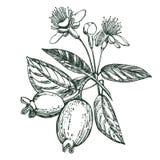 Inzameling van feijoafruit, bloem, bladeren en feijoaplak Vector hand getrokken illustratie royalty-vrije illustratie