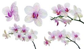 Inzameling van geïsoleerde lichte orchideebloemen in roze vlekken Royalty-vrije Stock Foto's
