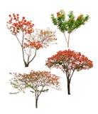 Inzameling van Geïsoleerde vlambomen met oranje en rode bloemen op witte backgroud Stock Foto's