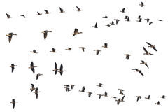 Inzameling van geïsoleerde vliegende ganzenstrengen op witte achtergrond Stock Foto