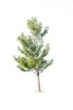 Inzameling van geïsoleerdex bomen Royalty-vrije Stock Foto's