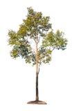 Inzameling van geïsoleerdex bomen Stock Afbeeldingen