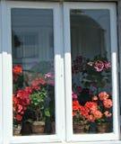 Inzameling van geraniums Stock Afbeeldingen
