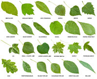Inzameling van groene bladeren van bomen met namen stock fotografie