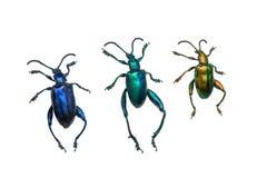 Inzameling van grondkevers (carabidae), op witte rug wordt geïsoleerd die Stock Fotografie