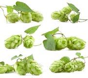Inzameling van hop Stock Foto