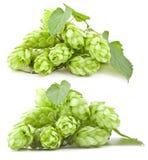 Inzameling van hop Royalty-vrije Stock Afbeeldingen