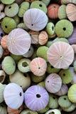 Inzameling van kleurrijke zeeëgelshells Stock Foto