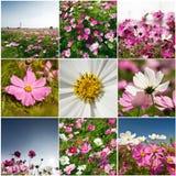 Inzameling van Kosmosbipinnatus Stock Fotografie