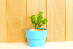 Inzameling van madeliefjeboom in blauwe bloempot. Stock Afbeelding