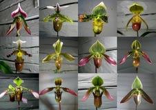 Inzameling van orchidee Paphiopedilum stock afbeelding