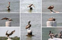 Inzameling van pelikanen Stock Afbeelding