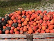 Inzameling van Pompoenen Stock Foto's
