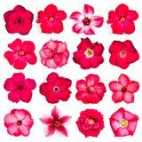 Inzameling van rode die bloemen op witte achtergrond wordt geïsoleerd Stock Afbeelding